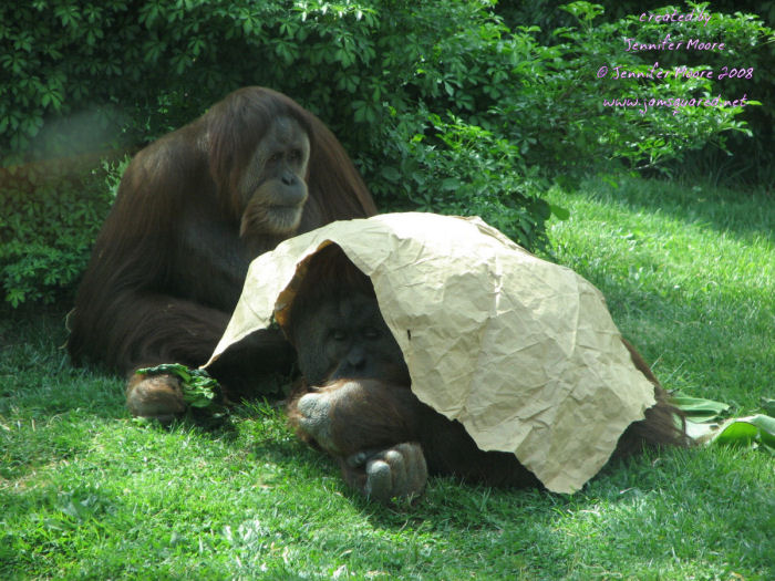 Orangutans Playing Hide and Seek