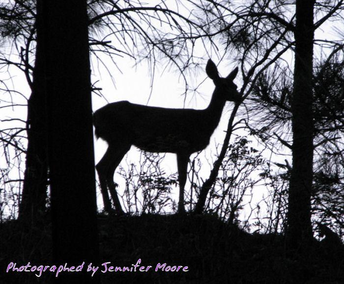 Deer (seen near the cabin)